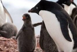 """جوجه پنگوئنهای """"آدلی"""" در جنوبگان دچار مرگی فاجعه بار شدند"""