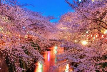 سفر به کشور شکوفههای گیلاس